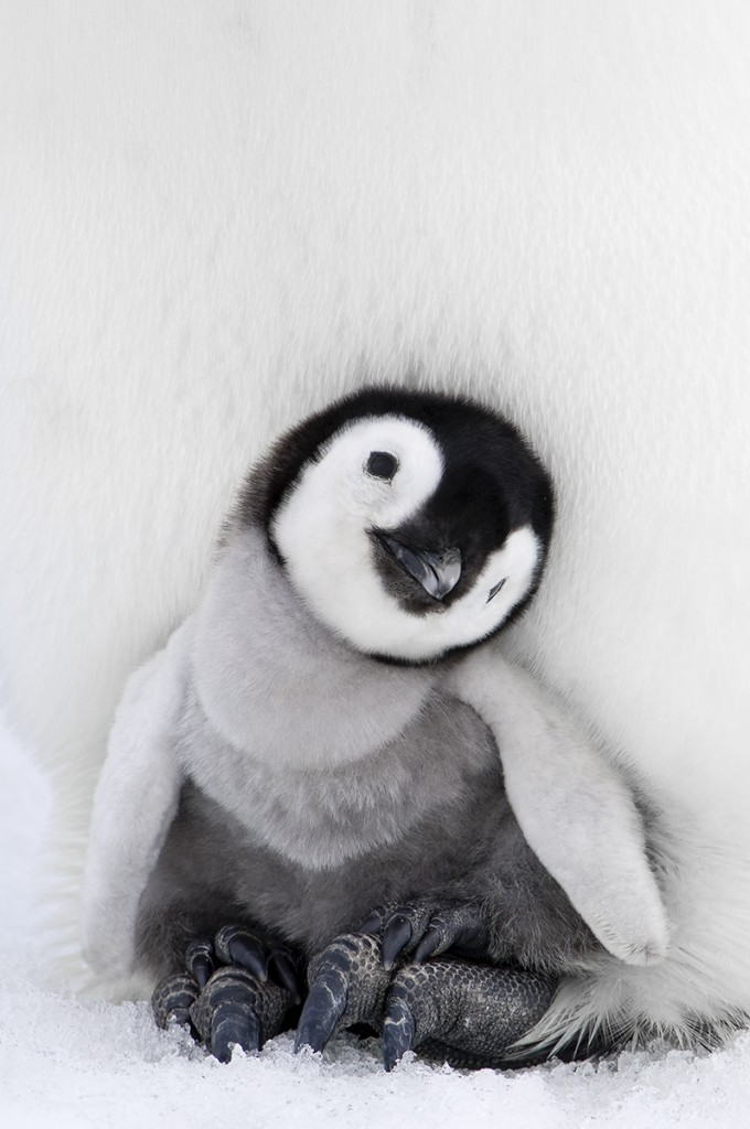 Antarctica, Snow Hill Island, Emperor Penguin chick (Aptenodytes forsteri) sitting on parents feet.