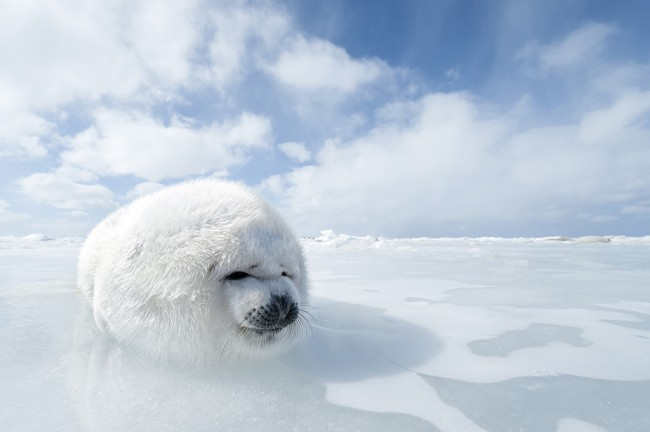 Harp seal pup (Phoca groenlandicus) on pack ice around Magdalen Islands - Gulf of St. Lawrence Quebec -  Canada