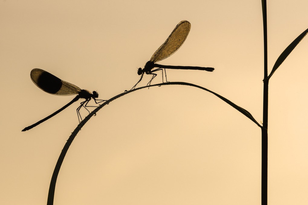 Banded demoiselle {Calopteryx splendens}, male and female silhouetted on reed, Lower Tamar Lakes, Cornwall, UK. June 2014.