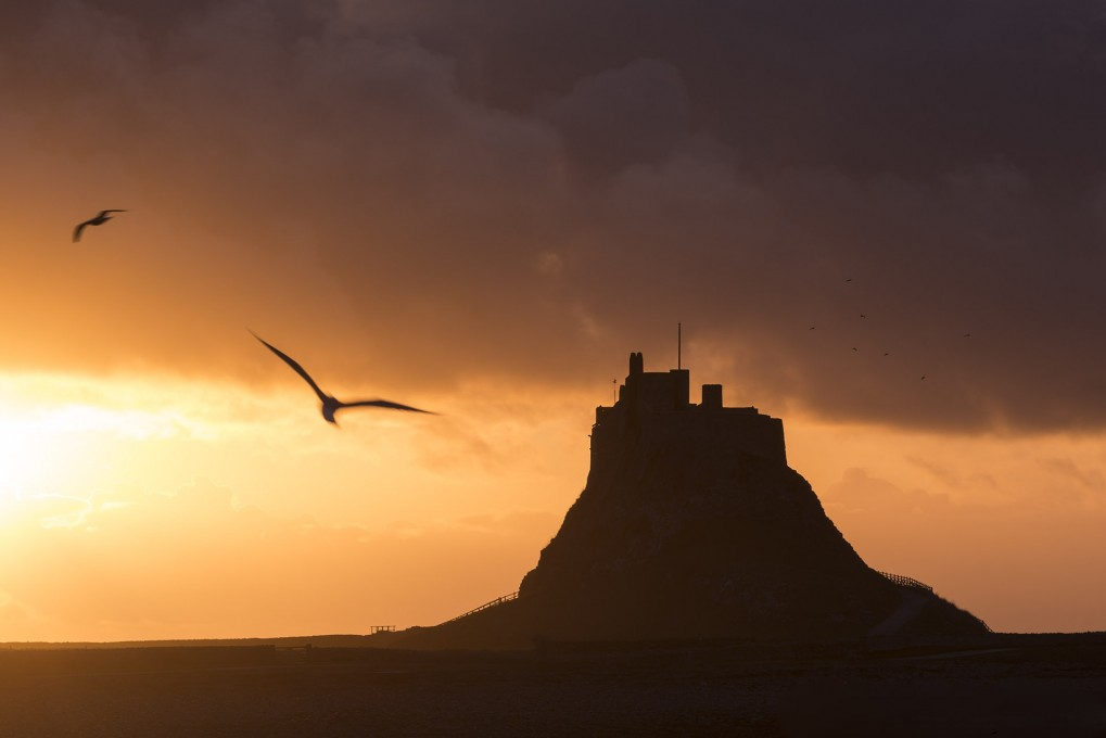 Lindisfarne castle silhoutted at dawn, with gulls in flight, Holy Island, Northumberland, UK. March 2014.
