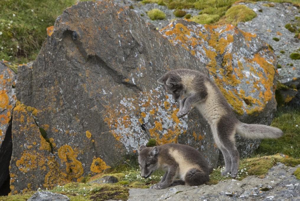 Arctic Fox puppies