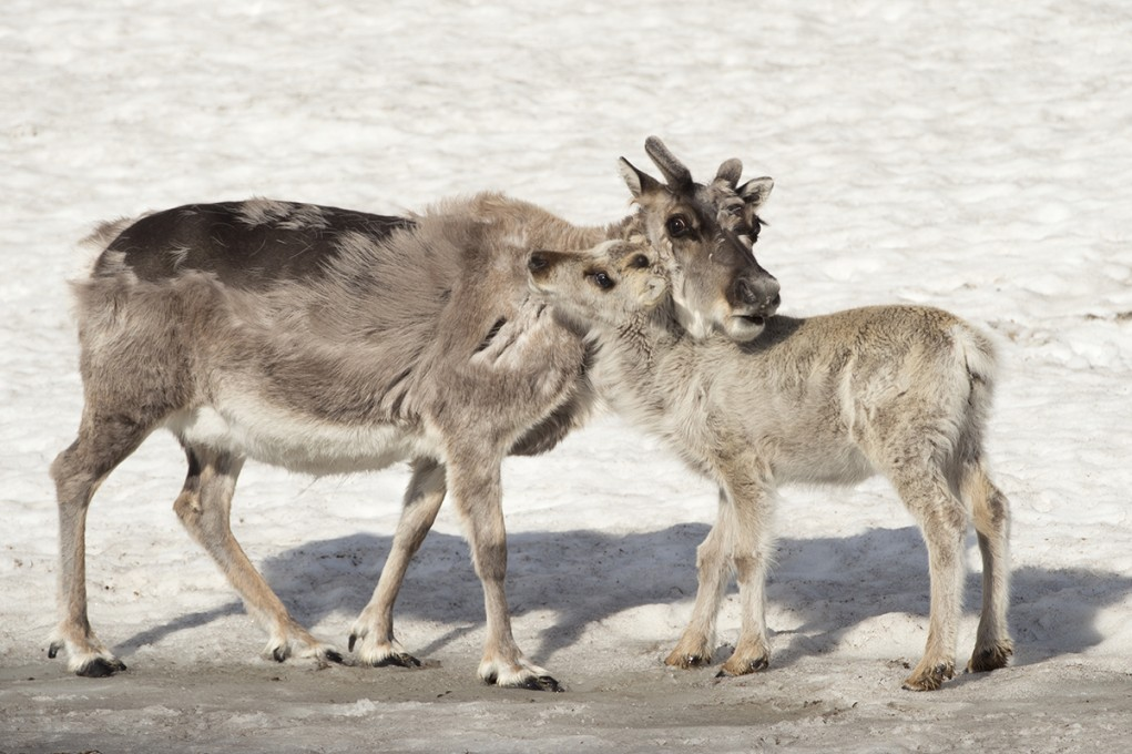 Reindeer puppy and his mother
