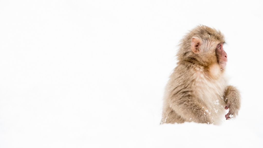 A Japanese Macaque, known to many as a Snow Monkey, looks for food in new snow. Japan.