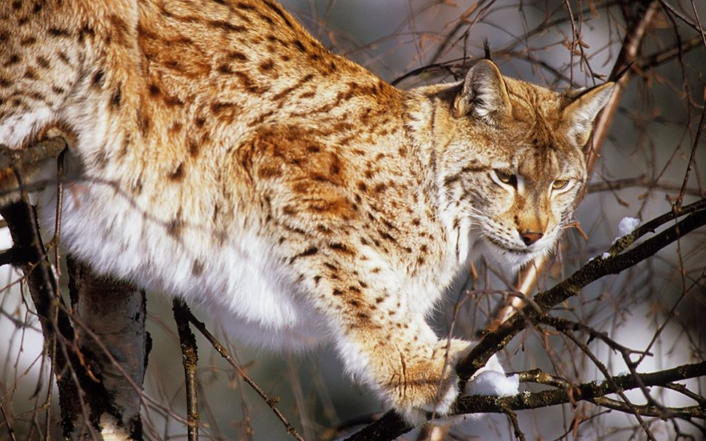 The Eurasian lynx (Lynx lynx) is a medium-sized cat native to European and Siberian forests, South Asia and East Asia. It is also known as the European lynx, common lynx