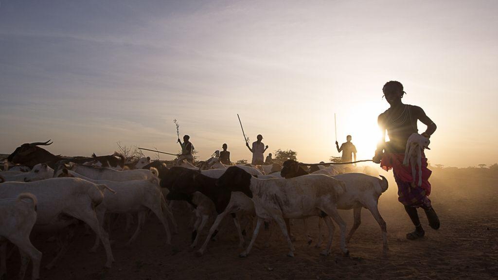 Carrying a newborn lamb, a Rendille shepherd brings his flocks home for Almatho, an annual Rendille celebration. Northern Kenya.