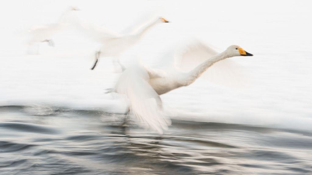 Whooper swans from Siberia wintering in the warmer waters of Hokkaido, Japan.