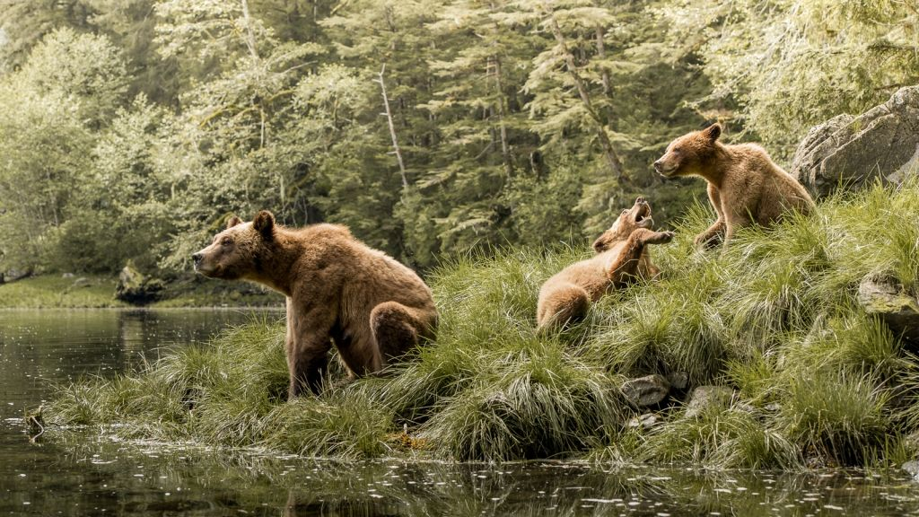 A mother grizzly bear and two juvenille cubs feed and play in the Khutzeymateen Inlet of British Columbia, Canada.