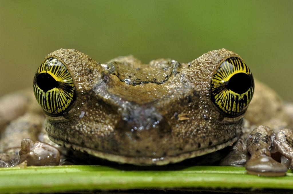 Amazonian tree frog