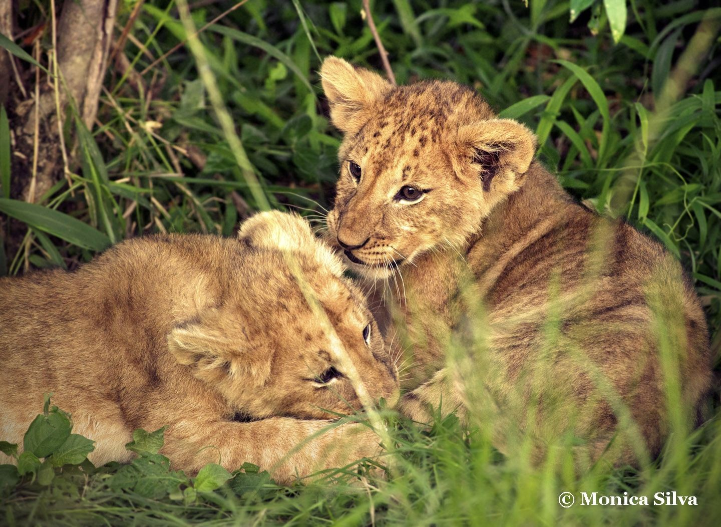 Lion Babies at sunset