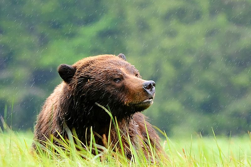 Grizzly in the Great Bear Rainforest