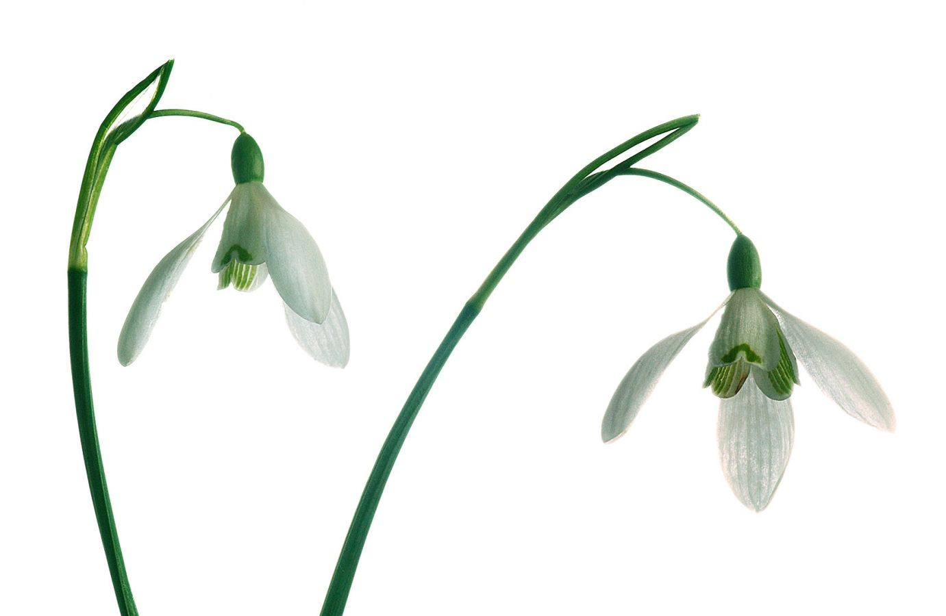 Snowdrops-Galanthus, photographed against a white paper backdrop. Photo by John Robertson.