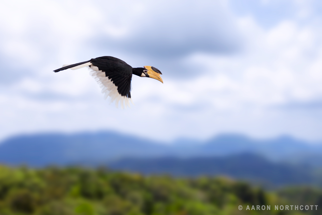 A Malabar Pied Hornbill (Anthracoceros coronatus) in flight with the mountains of Sri Lanka in the background.