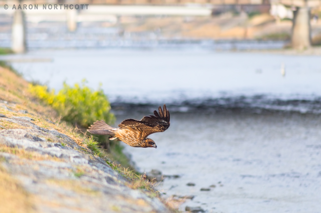 A Japanese Tobi or Black Kite flies low over the banks of a river in Kyoto.