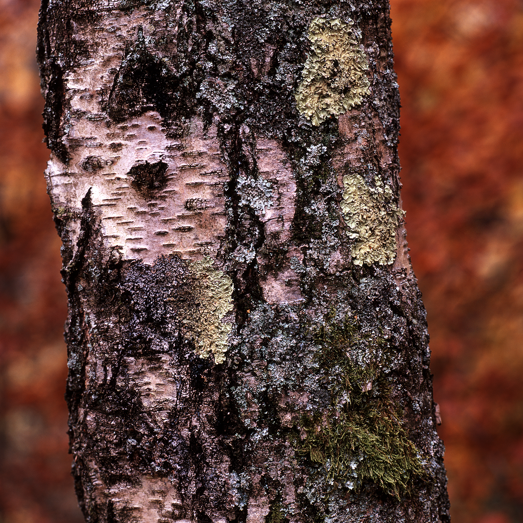 Rule 8 Silver Birch & Lichen