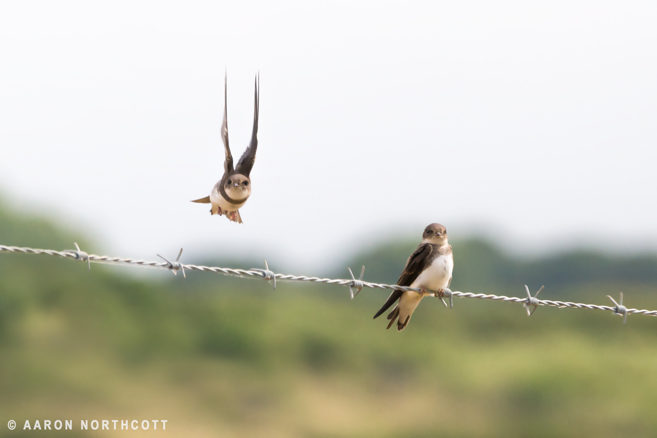 One Sand Marten flies past another perched on a barbed wire fence in Essex, UK.