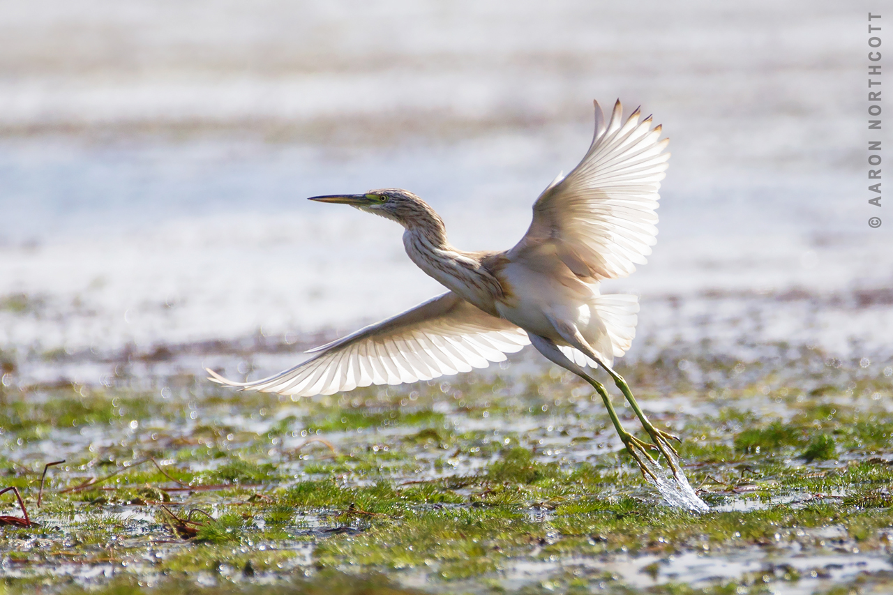 A Squacco Heron (Ardeola ralloides) takes flight in search of better feeding spots along the shores of the Nile in Egypt, Africa.