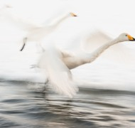 Whooper swans from Siberia
