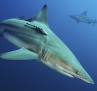 Black Tip reef shark in South Africa