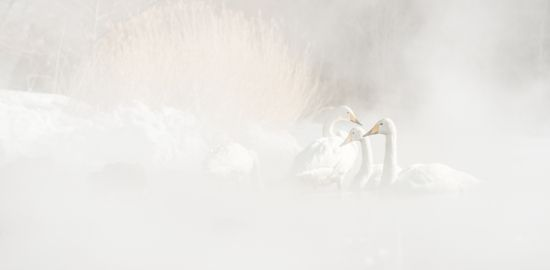 Whooper swans from Siberia wintering in the geothermal waters of Hokkaido, Japan.