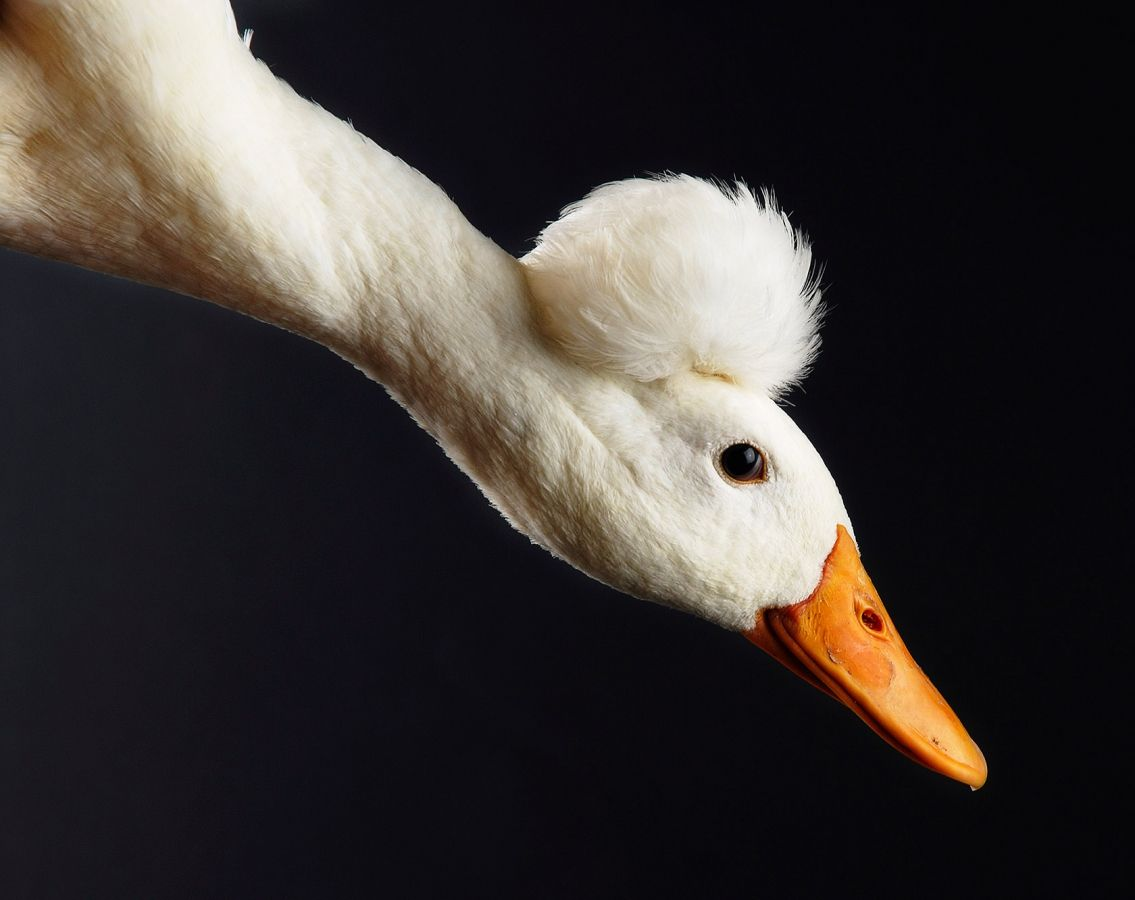 A Bali duck at the UK National Poultry Show. Photo by John Robertson.