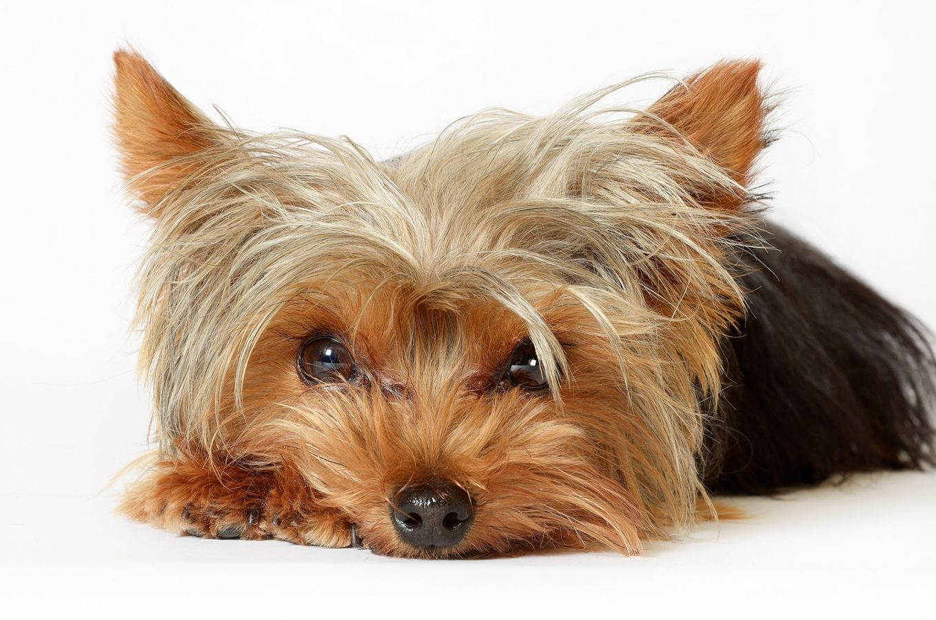 A Yorkshire Terrier photographed against a white paper half-roll backdrop. Photo by John Robertson.