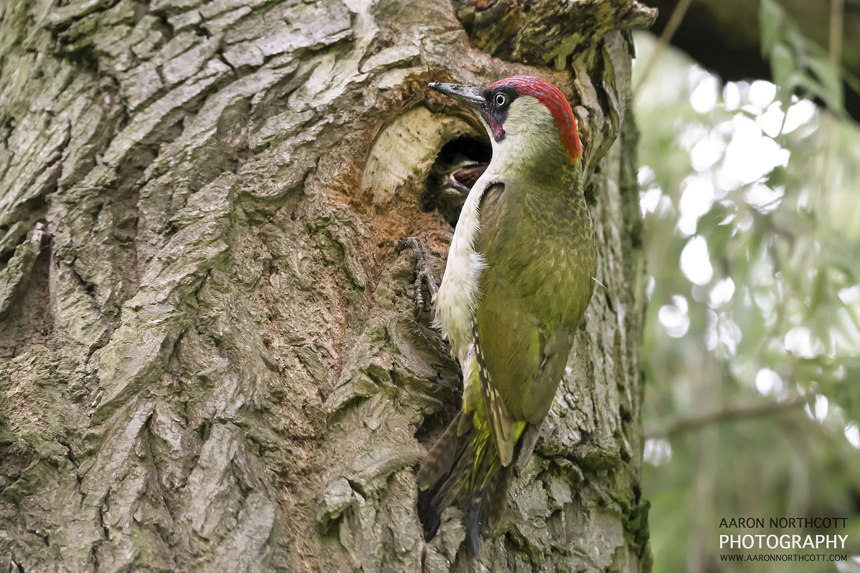 A Green Woodpecker feeds it's young hiding inside the nest.
